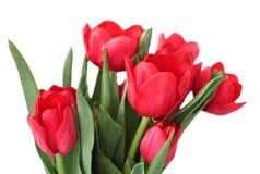 Rote Tulpen lokalisiert auf einem weißen Hintergrund Lizenzfreie Stockfotos