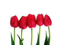 Rote Tulpen lokalisierten fünf rote Tulpen auf Weiß mit Beschneidungspfad Lizenzfreies Stockfoto