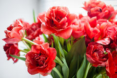 Rote Tulpen Makro Lizenzfreies Stockfoto