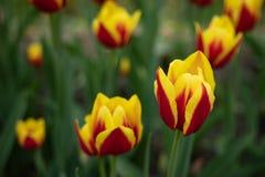 Rote Tulpen mit gelber Musterbl?te an einem sonnigen Tag im Park auf einem Hintergrund von gr?nen Bl?ttern lizenzfreie stockfotos