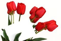 Rote Tulpen mit leerer weißer Karte stockfotos