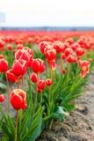 Rote Tulpen mit schönem Blumenstraußhintergrund Lizenzfreies Stockfoto