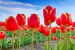 Rote Tulpen mit schönem Blumenstraußhintergrund Stockbild