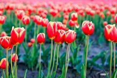 Rote Tulpen mit schönem Blumenstraußhintergrund Lizenzfreie Stockfotos
