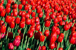 Rote Tulpen mit unscharfem Hintergrund Stockfotografie