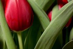 Rote Tulpen schließen oben Lizenzfreie Stockfotografie