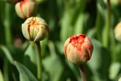 Rote Tulpen sind im Begriff zu knallen stockbild