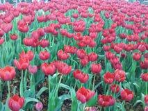 Rote Tulpen sind volle Blüte Sehr schön im Garten stockfoto