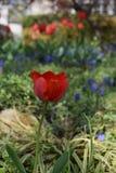 Rote Tulpen und blaue Blumen in einem Garten Stockbilder