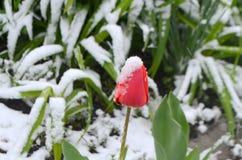 Rote Tulpen unter dem Schnee Lizenzfreies Stockfoto