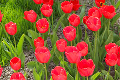 Rote Tulpen unter einem sonnigen Himmel auf einem Hintergrund des Blumenbeets und des grünen Grases Stockbild
