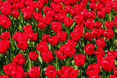 Rote Tulpen in voller Blüte Stockbilder