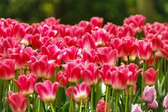 Rote Tulpen von Keukenhof stockfotos
