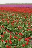Rote Tulpen wachsen auf einem Gebiet von West-Friesland in den Niederlanden Lizenzfreies Stockfoto