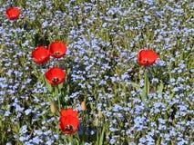 Rote Tulpen zwischen Myosotisblumen stock footage