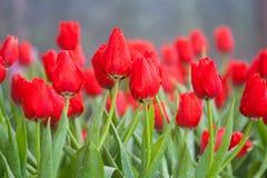Rote Tulpenblume lizenzfreies stockfoto