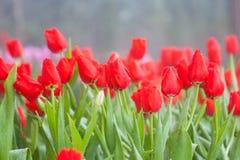 Rote Tulpenblume stockfotografie
