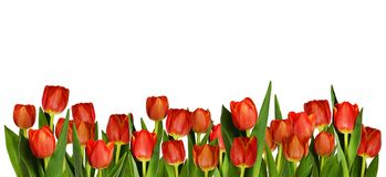 Rote Tulpenblumen in der dekorativen Grenze Stockfotografie