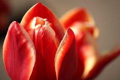 Rote Tulpenblumenblätter Lizenzfreies Stockbild