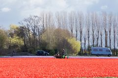 Rote Tulpenfelder gegen einen Hintergrund von hohen Bäumen und von Leuten, die sie im niederländischen Frühjahr besuchen stockbilder
