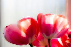 Rote Tulpenweichzeichnung Stockfoto