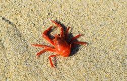 Rote Tuna Crab auf dem Strand an La- Jollabucht in San Diego, Kalifornien stockbilder