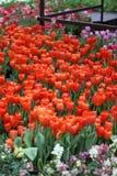 Rote tuplips Stockfotografie
