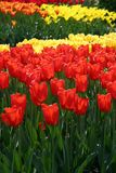 Rote u. gelbe Tulpen stockfotografie