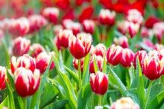 Rote u. weiße Tulpen im Regen stockbild