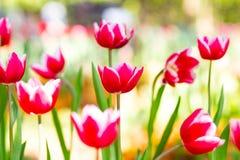 Rote u. weiße Tulpen im Regen stockfoto