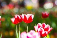 Rote u. weiße Tulpen mit bokeh stockfotografie