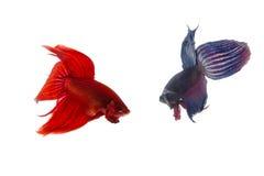 Rote und blaue betta Fische, siamesische kämpfende Fische lokalisiert auf Weiß Stockbilder