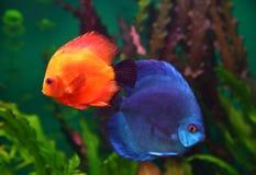 Rote und blaue Diskusfische Stockbild