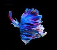 Rote und blaue siamesische kämpfende Fische, betta Fische lokalisiert auf Schwarzem Stockfoto