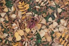 Rote und braune gefallene Blätter der Eberesche und der Birke Lizenzfreies Stockfoto