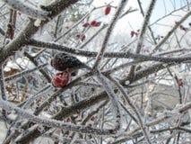 Rote und braune Hagebutte vorzeitig eingefroren Lizenzfreies Stockfoto