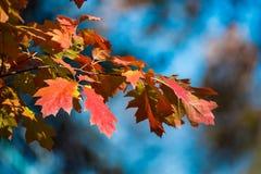 Rote und gelbe Ahornblätter auf Hintergrund des blauen Himmels Unscharfer Hintergrund Nebel auf dem Feld Goldener Herbst stockfoto