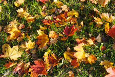 Rote und gelbe Ahornblätter gefallen weg von den Bäumen Lizenzfreies Stockbild