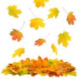 Rote und gelbe Ahornblätter gelbes Blatt auf Baumhintergrund Stockbild
