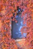 Rote und gelbe Blätter von wilden Trauben auf den Fenstern des Hauses stockfotografie