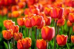 Rote und gelbe blühende Tulpen im Sonnenlicht des frühen Morgens Stockfotos
