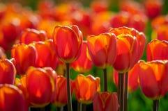 Rote und gelbe blühende Tulpen im Sonnenlicht des frühen Morgens Stockbild