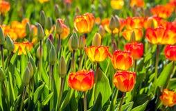 Rote und gelbe blühende Tulpen im Sonnenlicht des frühen Morgens Lizenzfreies Stockfoto