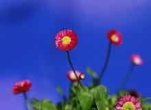 Rote und gelbe blühende Blume mit aus Hintergrund des blauen Himmels des Fokus heraus Stockbild