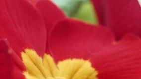 Rote und gelbe Blume stock video
