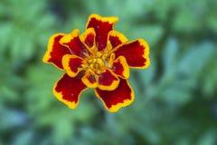 Rote und gelbe Blume auf unscharfem Hintergrund lizenzfreies stockbild