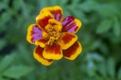 Rote und gelbe Blume auf unscharfem Hintergrund stockfotografie