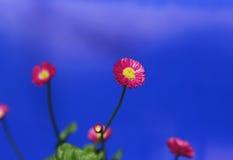 Rote und gelbe Blume mit dunkelblauem Himmelhintergrund Stockfotografie