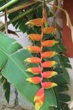 Rote und gelbe Blume von Heliconia-rostrata Stockbilder