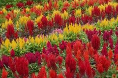 Rote und gelbe Blumenanzeige, eine Studie in voller Blüte Lizenzfreie Stockbilder